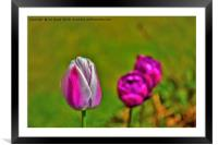 Tulips in the park., Framed Mounted Print