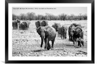 African elephants with young approaching waterhole, Framed Mounted Print