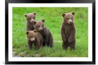 Brown Bear Cubs, Framed Mounted Print