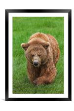 Brown Bear in Meadow, Framed Mounted Print