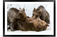 Brown Bear Suckling Cubs in the Snow, Framed Mounted Print