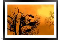 Grey Heron Landing on Nest at Sunset, Framed Mounted Print