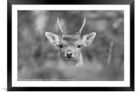 Young Buck , Framed Mounted Print