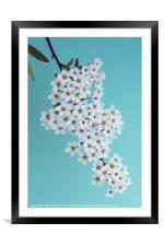 Bridal Wreath Spirea, Framed Mounted Print