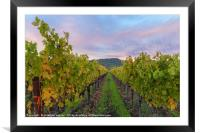 Vineyard In The Fall, Framed Mounted Print
