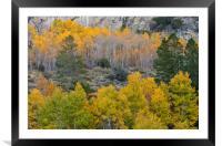 Fall Foliage , Framed Mounted Print
