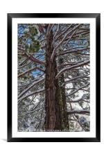 Pine in Winter, Framed Mounted Print