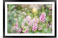 Pink Verbascum Flowers, Framed Mounted Print