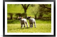 Two lambs, Framed Mounted Print