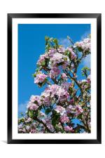 Apple blossom in April, Framed Mounted Print