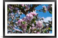 Apple blossom, Framed Mounted Print