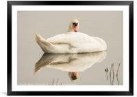 Resting Swan, Framed Mounted Print