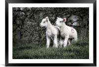 Pair of new born lambs, Framed Mounted Print