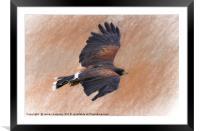 Flight of the Harris Hawk, Framed Mounted Print