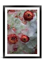 Ranunculus on ice background, Framed Mounted Print