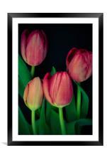 Pink tulips on black background, Framed Mounted Print