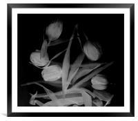 White tulips, Framed Mounted Print