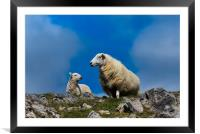 Sheep - Mother and Baby Lamb., Framed Mounted Print