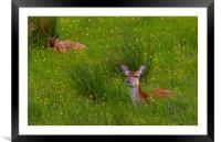 Red Deer in the Buttercups, Framed Mounted Print