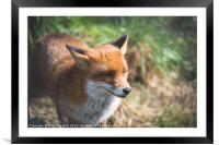 Red Fox, Framed Mounted Print