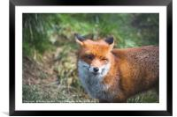 British Red Fox, Framed Mounted Print