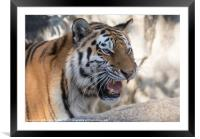 Indochinese Tiger, Framed Mounted Print