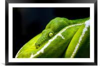 Green Tree Python, Framed Mounted Print