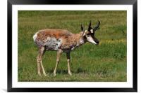 Pronghorn Antelope, Framed Mounted Print