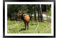 Rocky Mountain Wapiti, Framed Mounted Print