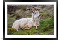 Wild Kashmiri Goat, Framed Mounted Print