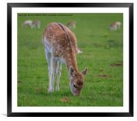Fallow Deer - Dama Dama, Framed Mounted Print
