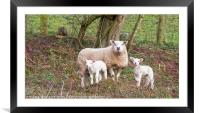 Ewe And Lambs, Framed Mounted Print