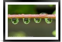 oak leaves catched in waterdrops, Framed Mounted Print