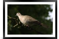 Collared Dove, Framed Mounted Print