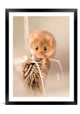 Harvest Mouse on Thistle, Framed Mounted Print