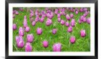 Pink Tulips , Framed Mounted Print