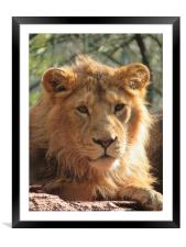 Yali, a young Asian Lion, Framed Mounted Print