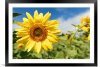 Flowering sunflowers in a field against a blue sky, Framed Mounted Print