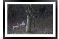 3 common fallow deers and 2 Melanistic Black deers, Framed Mounted Print