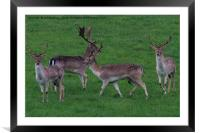 Wild Fallow buck deers in Somerset Uk , Framed Mounted Print