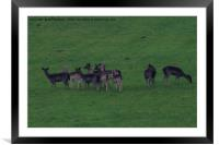 Wild common and melanistic falow deer in Somerset , Framed Mounted Print