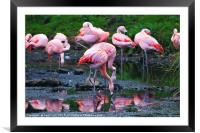 Pink Flamingos, Framed Mounted Print