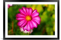 Pink Cosmos, Framed Mounted Print