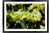 Yellow rhododendrons , Framed Mounted Print