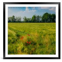 Red poppies on a green wheat field , Framed Mounted Print