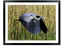 Gray Heron, Framed Mounted Print