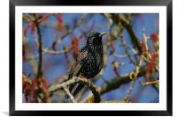 Starling, Framed Mounted Print