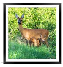 Roe deer doe with fawn, Framed Mounted Print