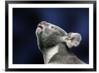 Cute Koala looking up in wonder, Framed Mounted Print