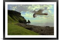 Fulmar flying at Talisker Bay, Framed Mounted Print